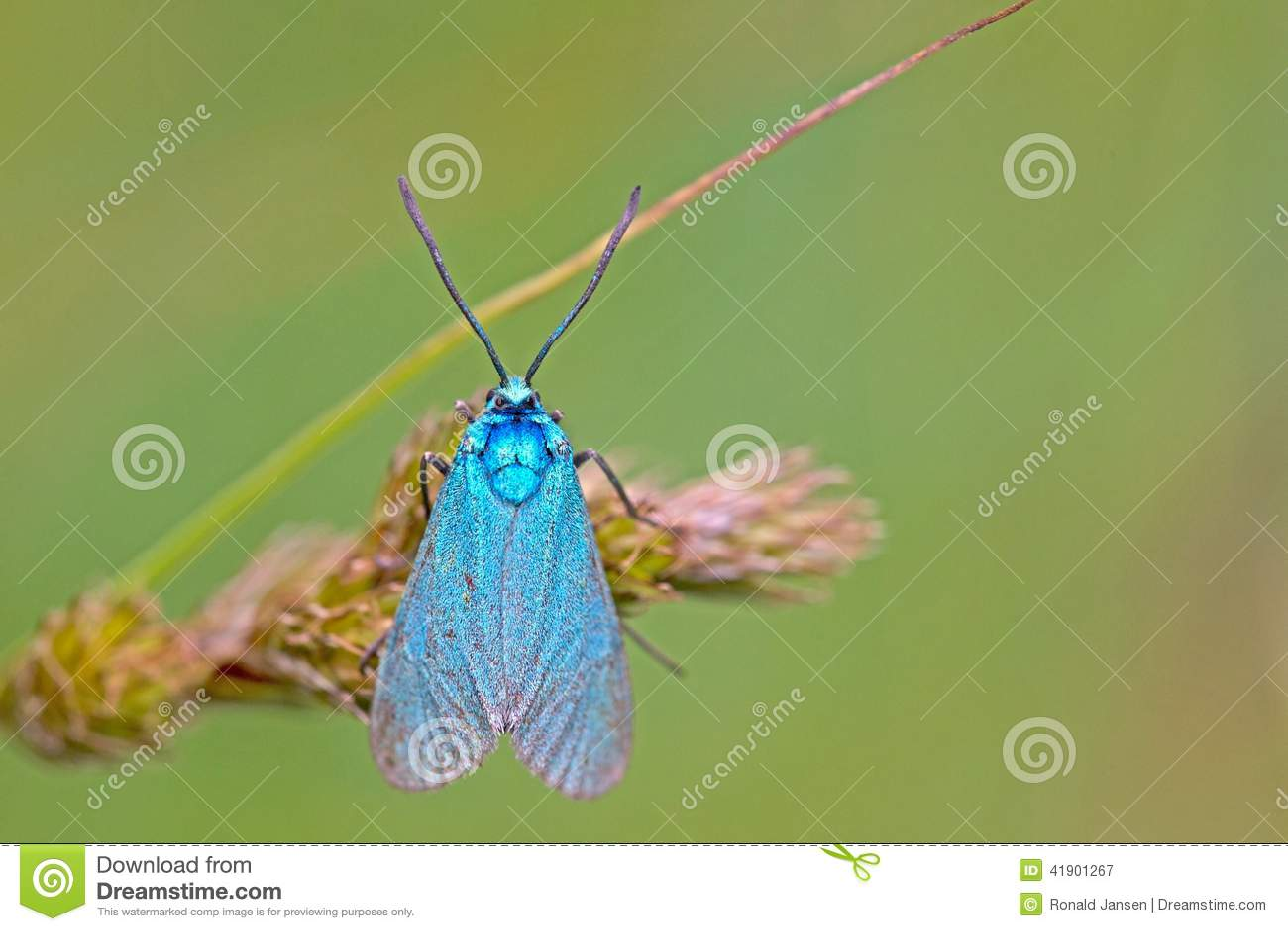 Mariposa del metal en el área Eifel de la naturaleza