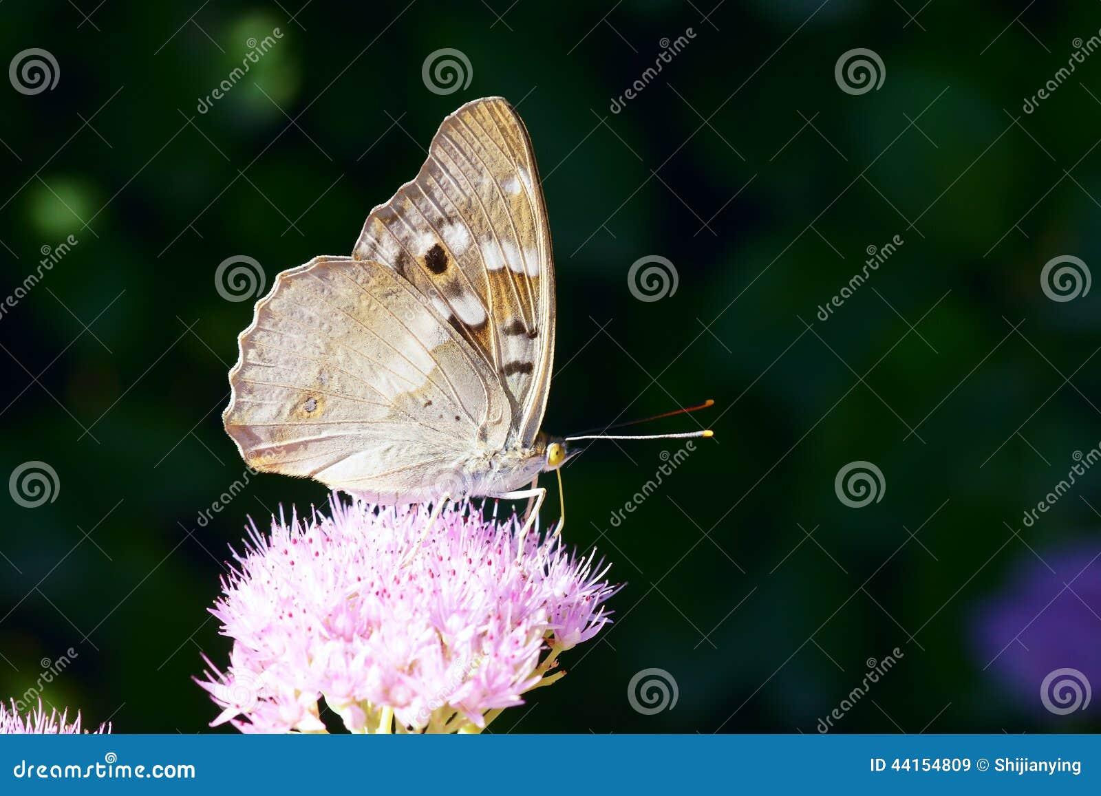 Mariposa del Nymphalidae