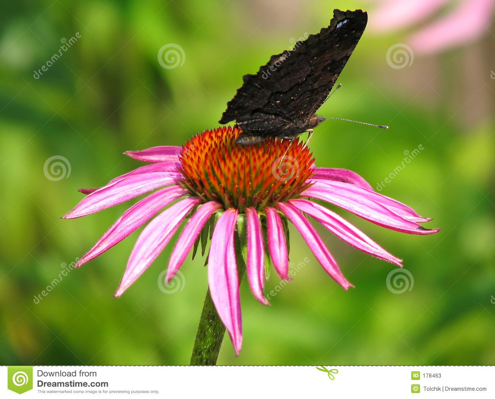 Mariposa del pavo real