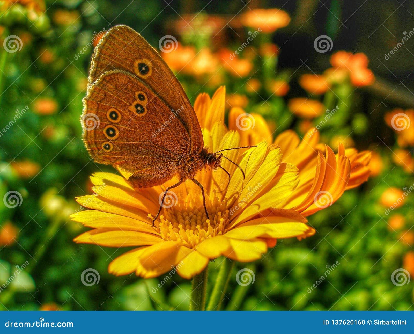 Mariposa del rizo que se sienta en la flor de la maravilla