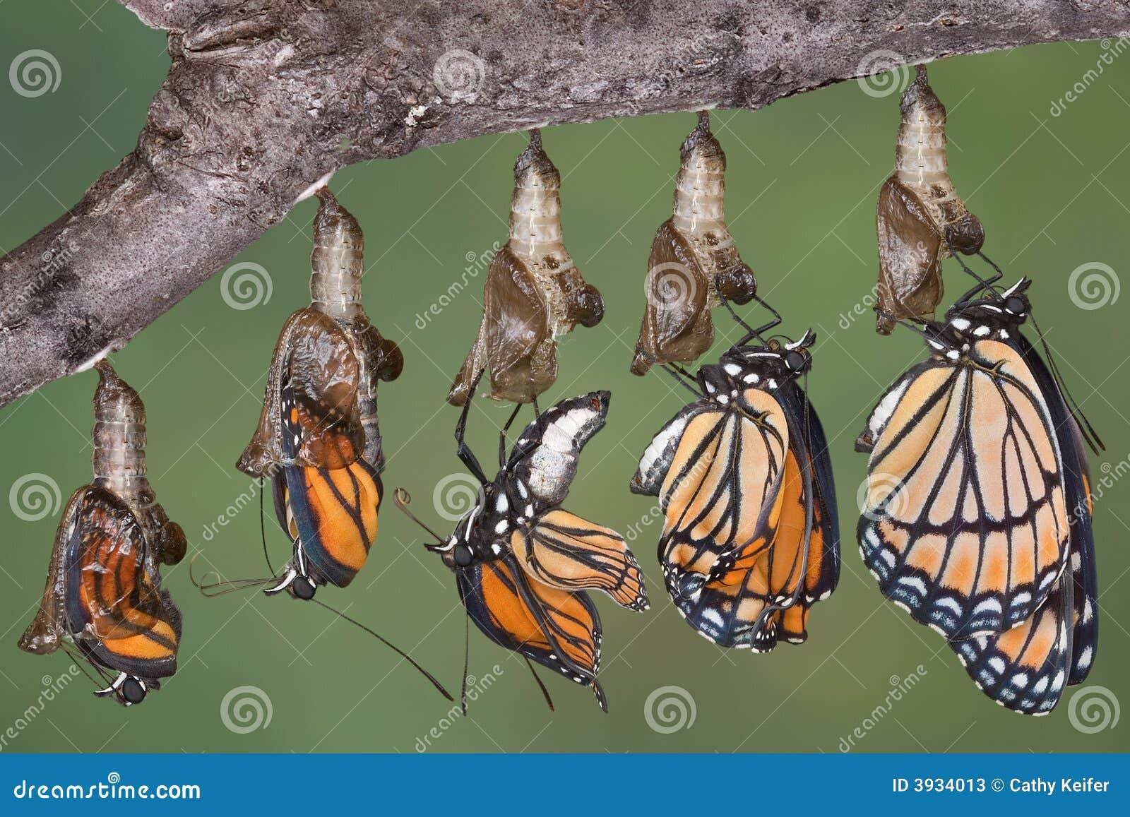 Mariposa del virrey que emerge