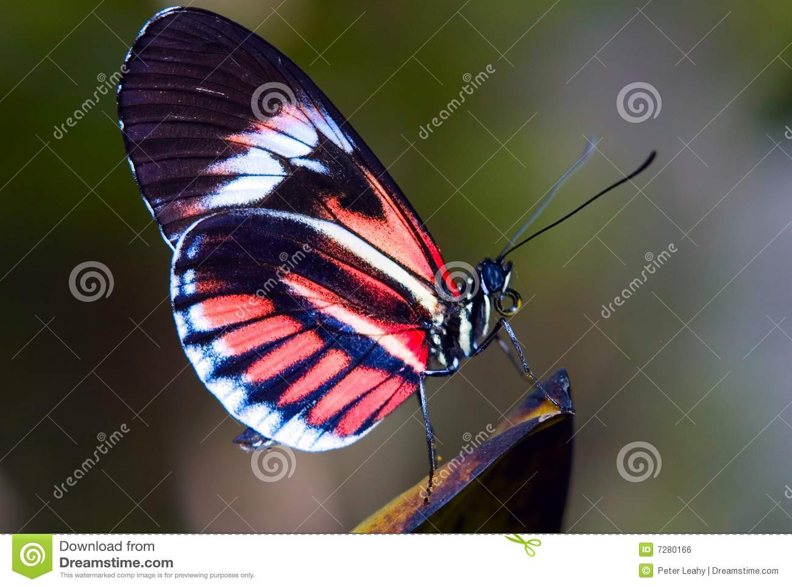 Mariposa dominante del piano
