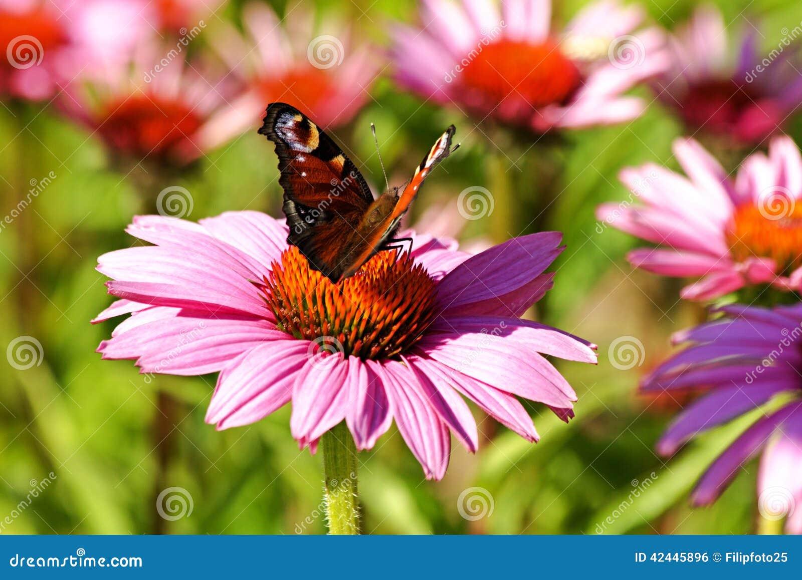 Mariposa en echinacea