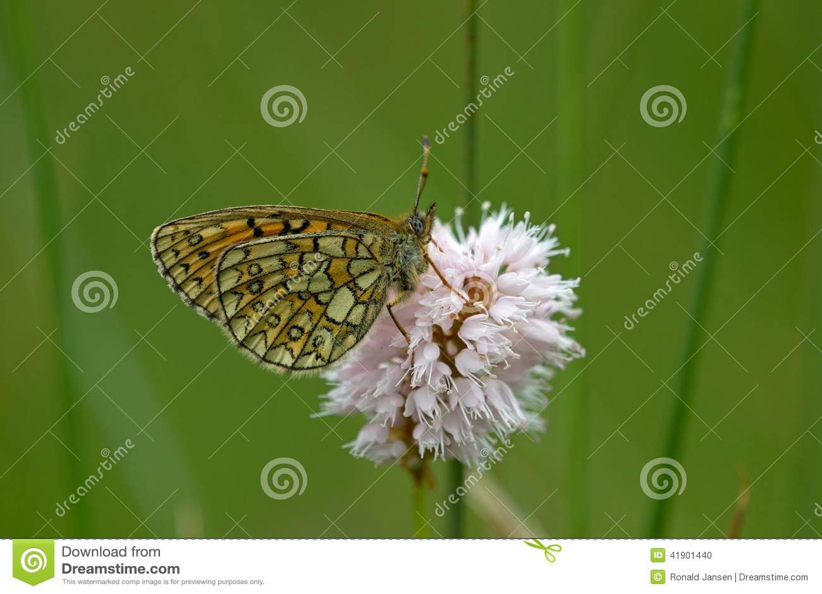 Mariposa en el área Eifel de la naturaleza