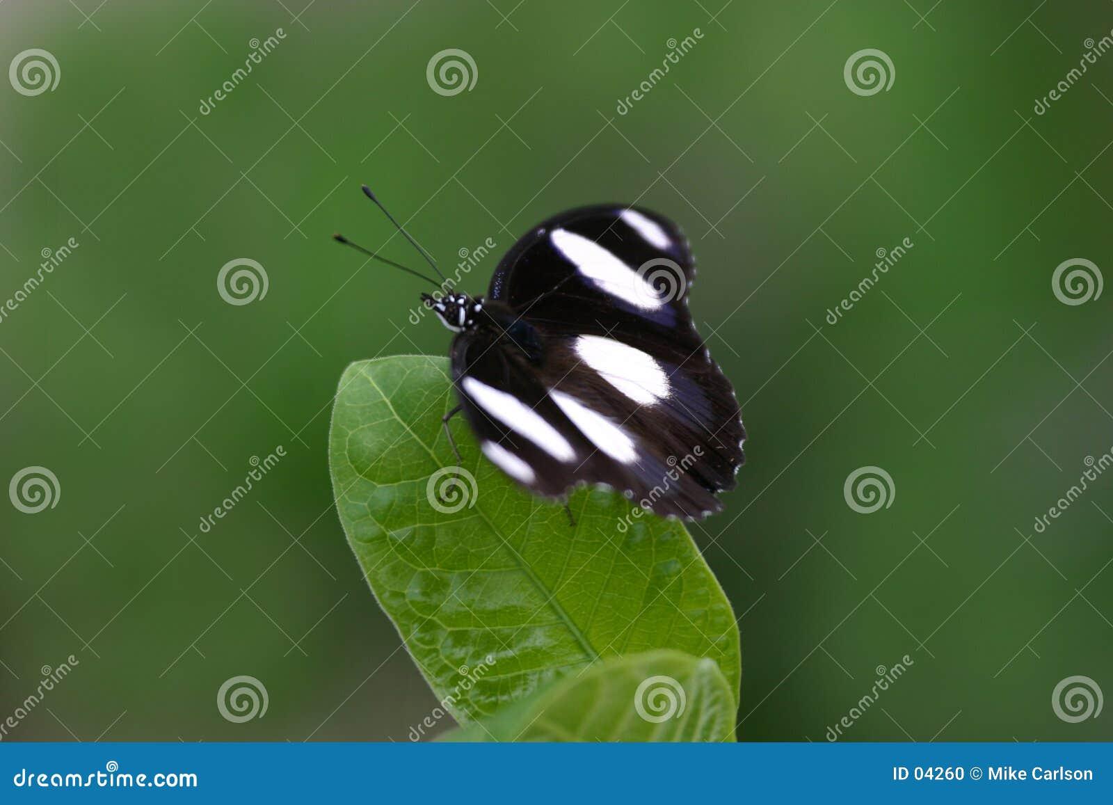Mariposa en la hoja