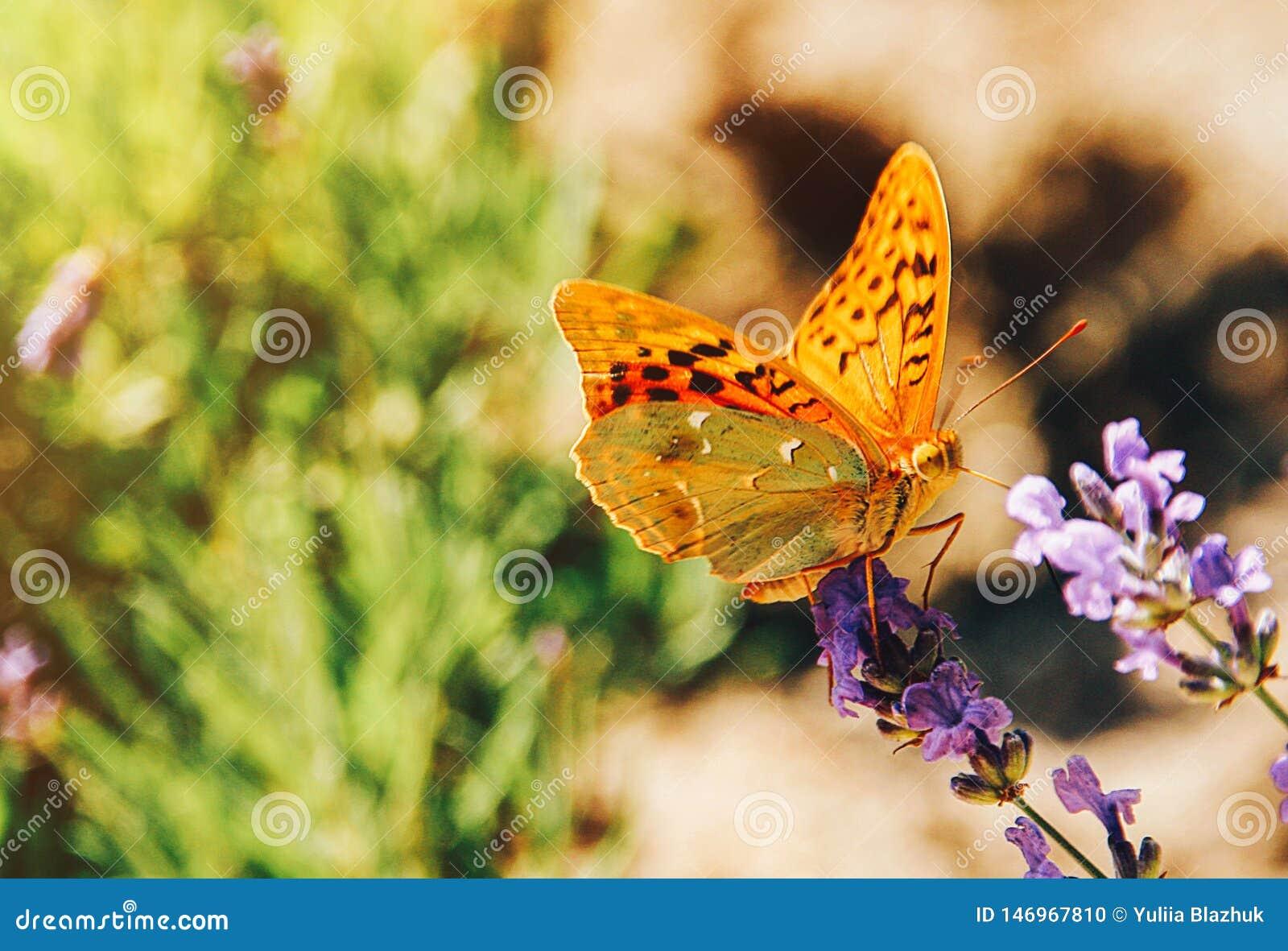 Mariposa en la imagen soleada del verano de las flores de la lavanda