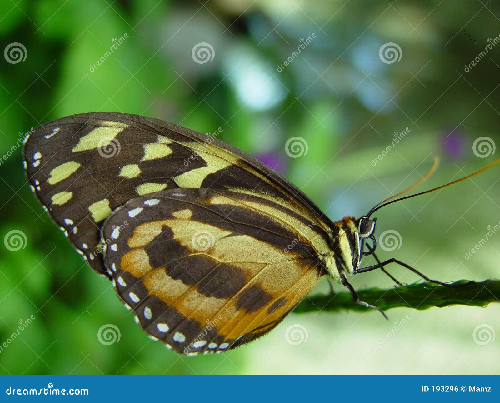 Mariposa en la ramificación