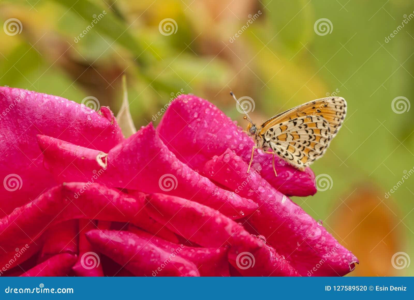 Mariposa en la rosa roja, en naturaleza