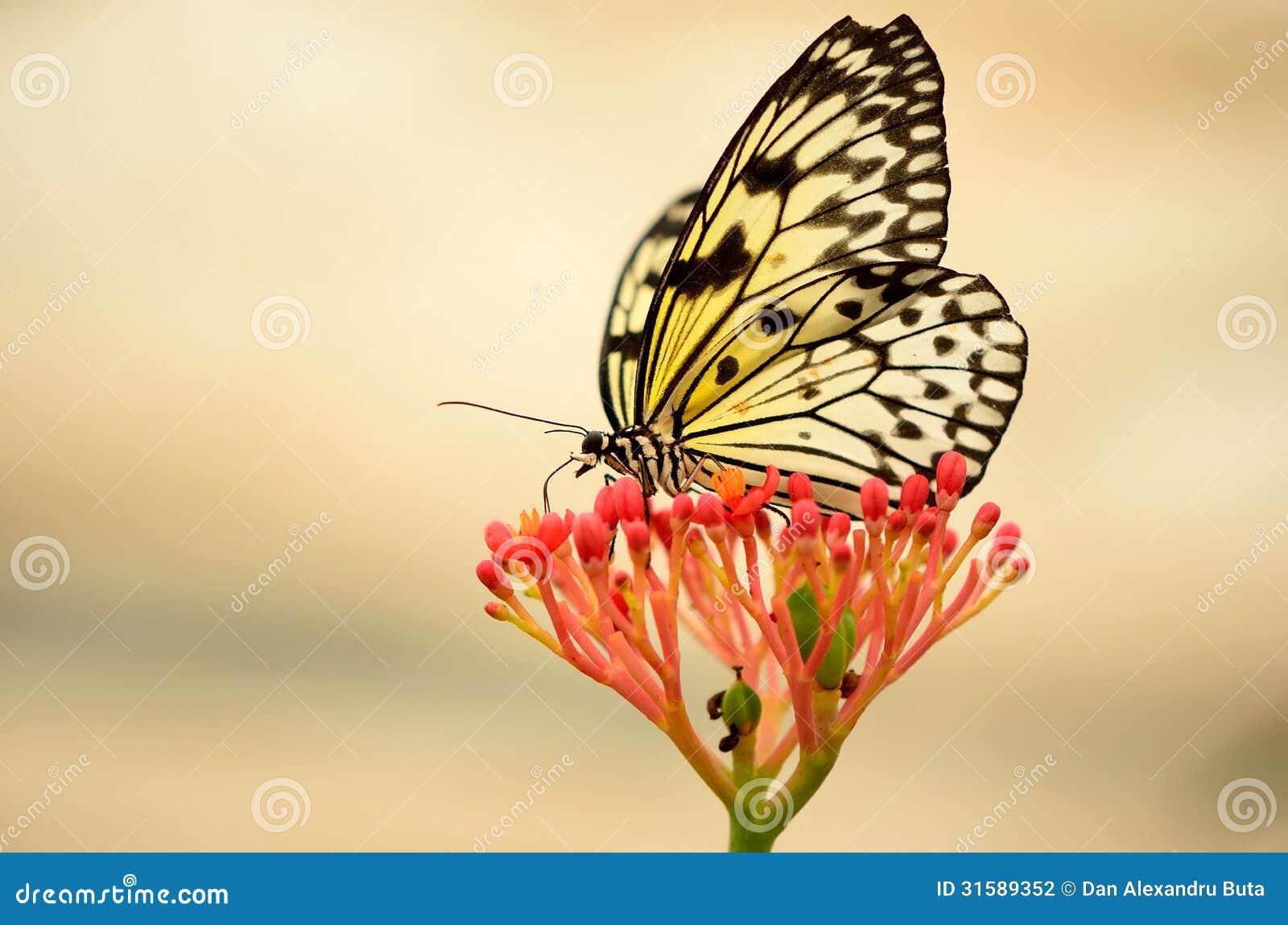 Mariposa encendida parte posterior en una flor roja