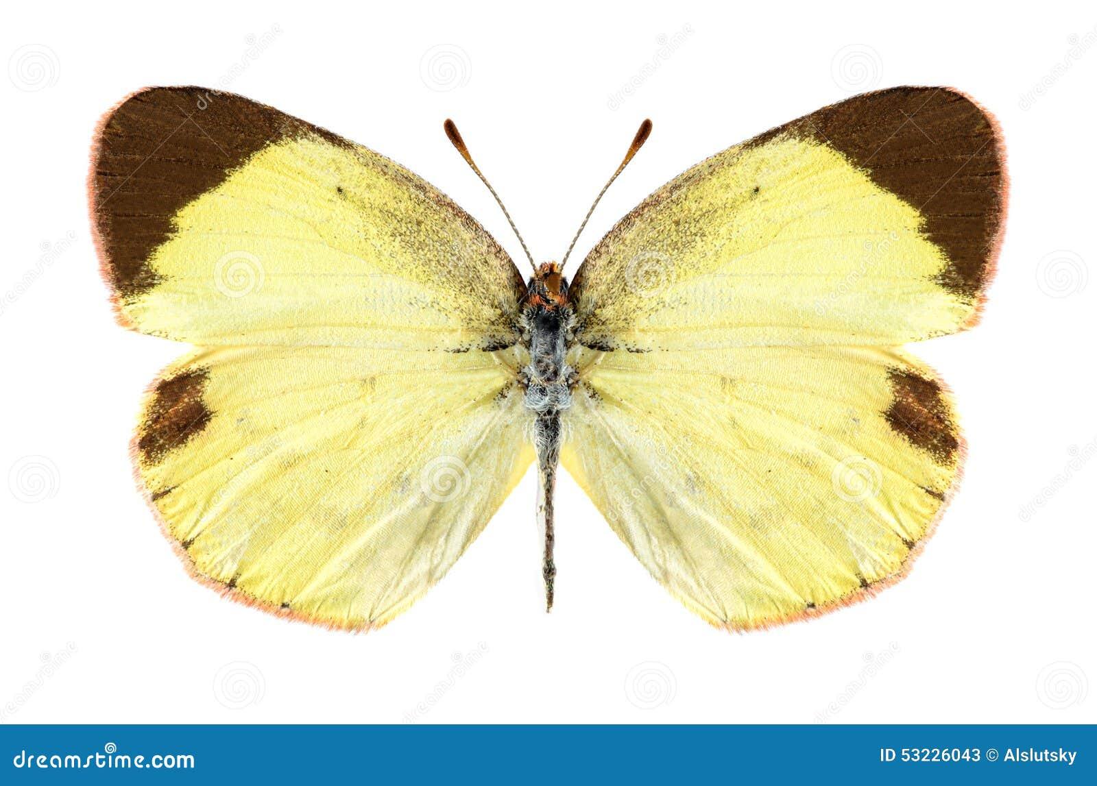 Mariposa Eurema Lisa (femenina)