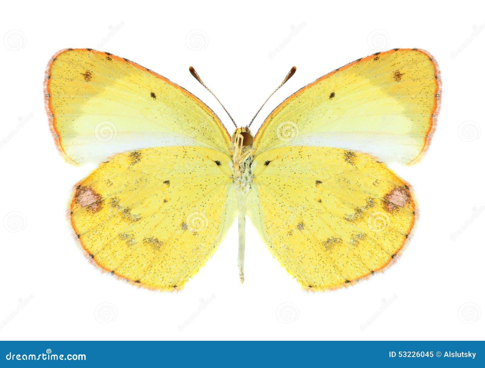 Mariposa Eurema Lisa (femenina) (superficie inferior)