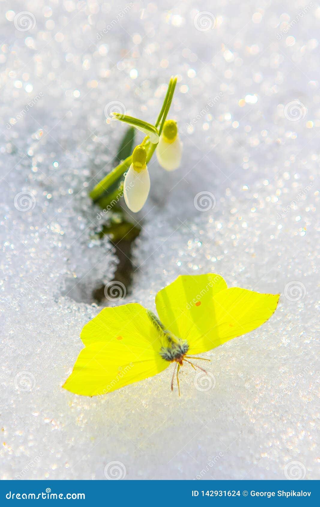 Mariposa hermosa con las alas separadas debajo de la flor del snowdrop que sale de nieve real Ciérrese para arriba con el foco se