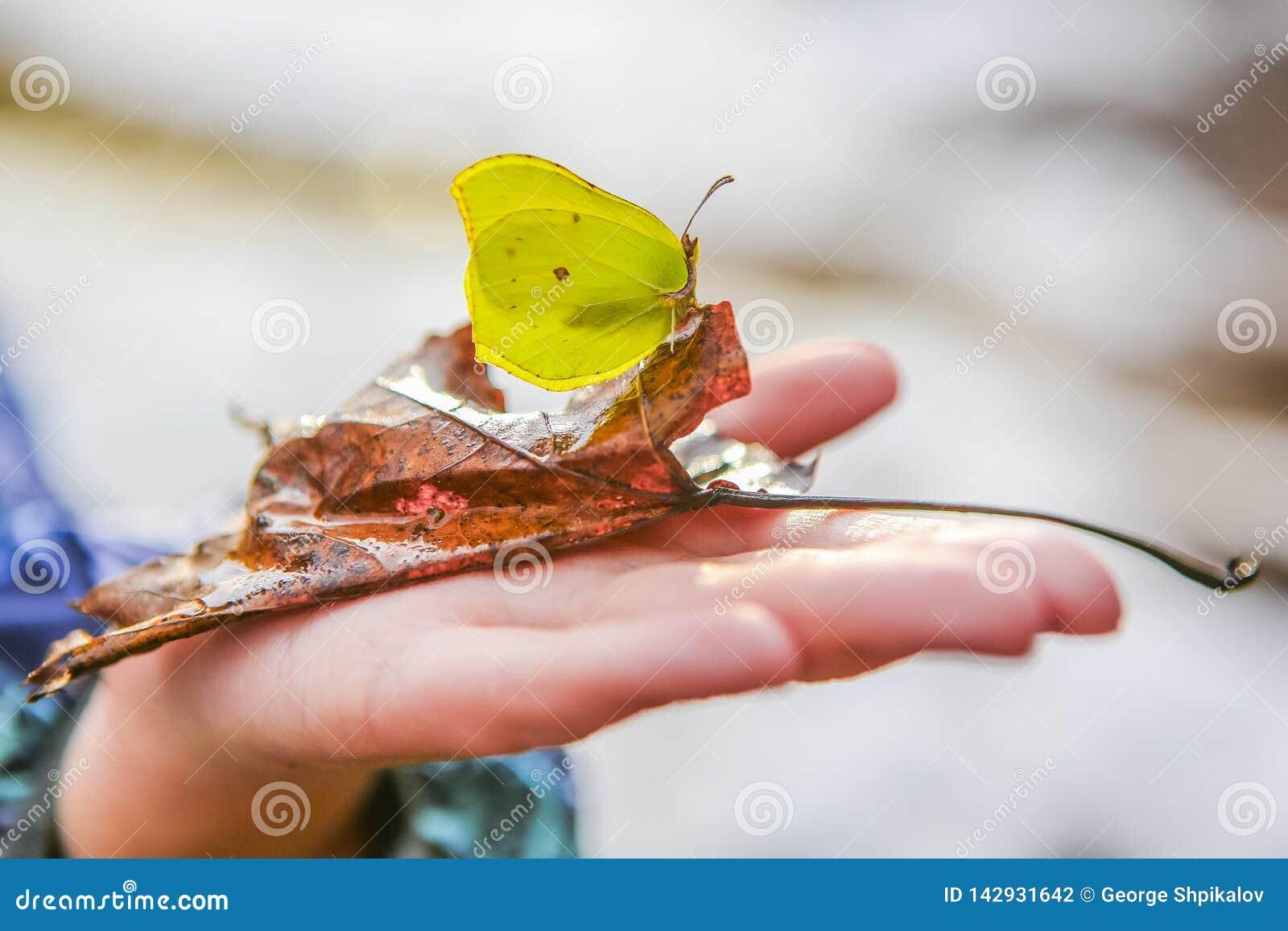 Mariposa hermosa en una hoja caida en la palma de un niño