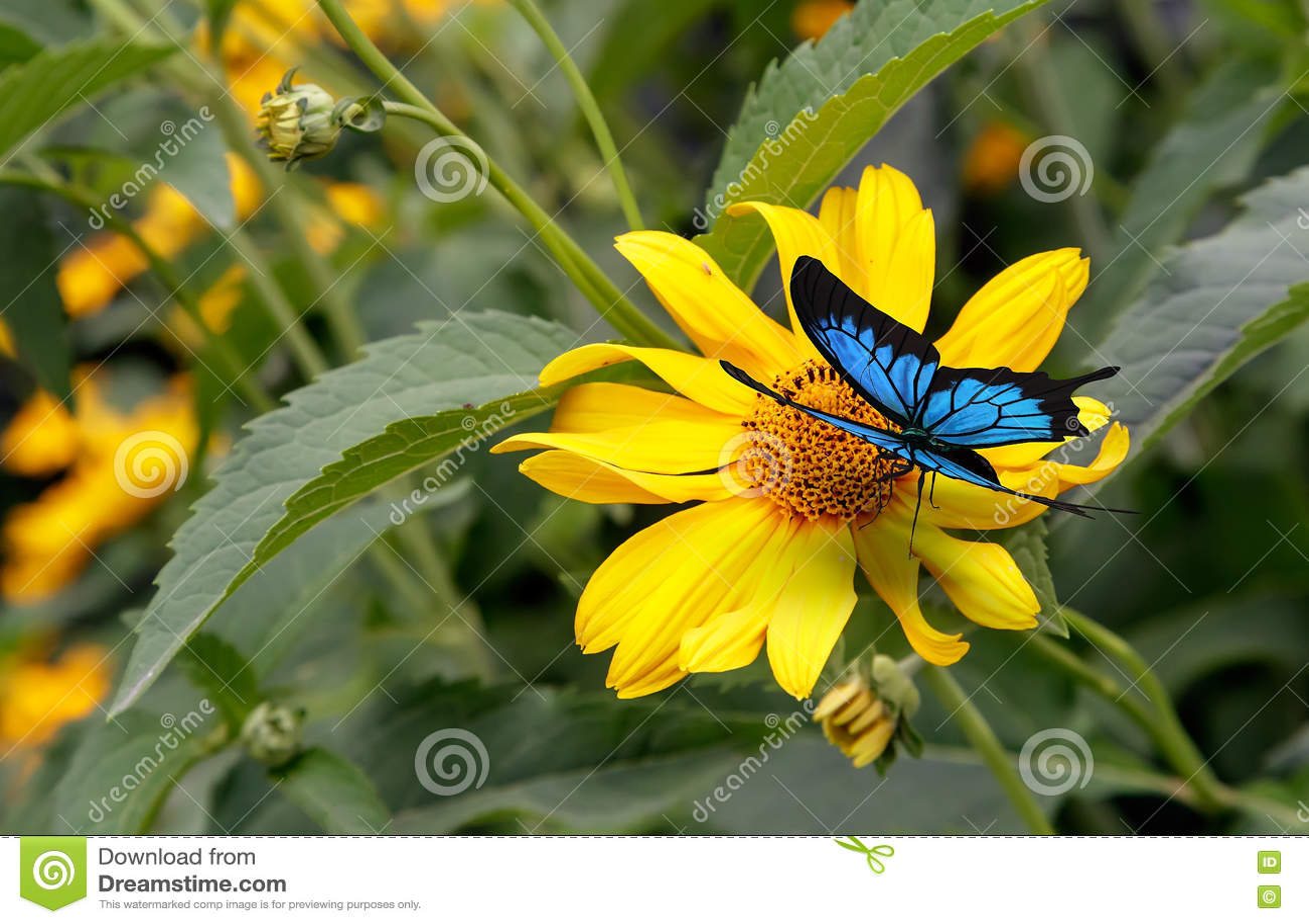 Mariposa hermosa que se sienta en un rudbeckia amarillo de la flor
