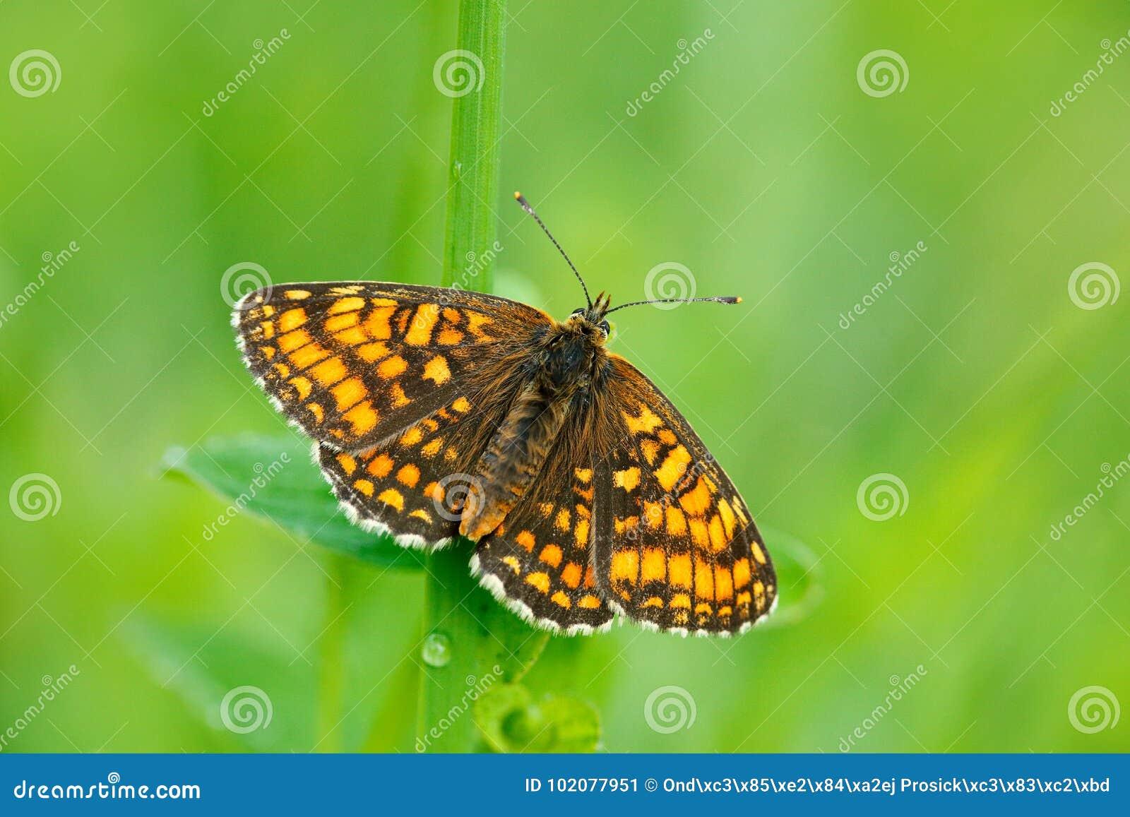Mariposa hermosa salvaje, Heath Fritillary, athalia de Melitaea, asistiendo en las hojas verdes, insecto en el hábitat de la natu