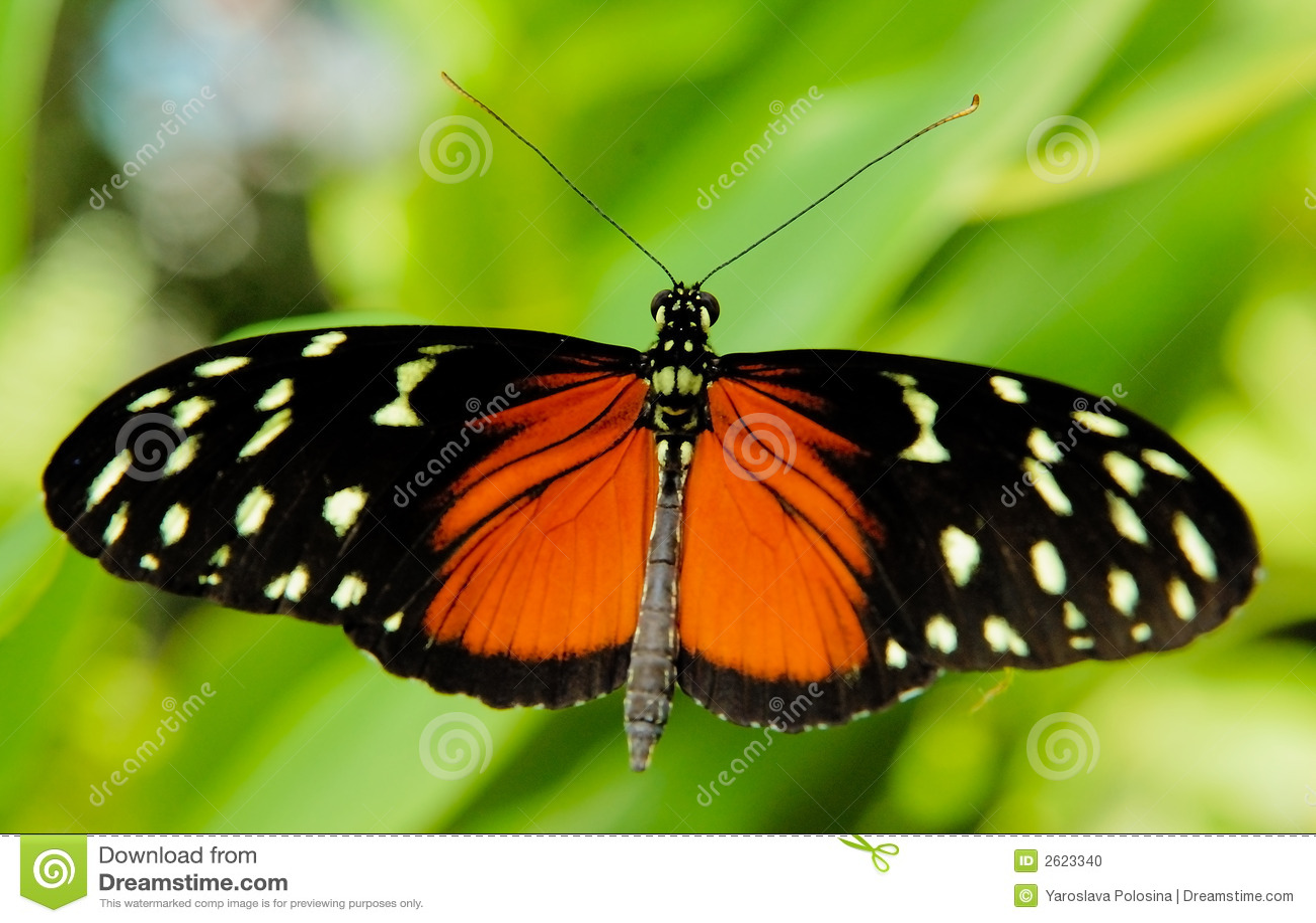 Mariposa negra y roja