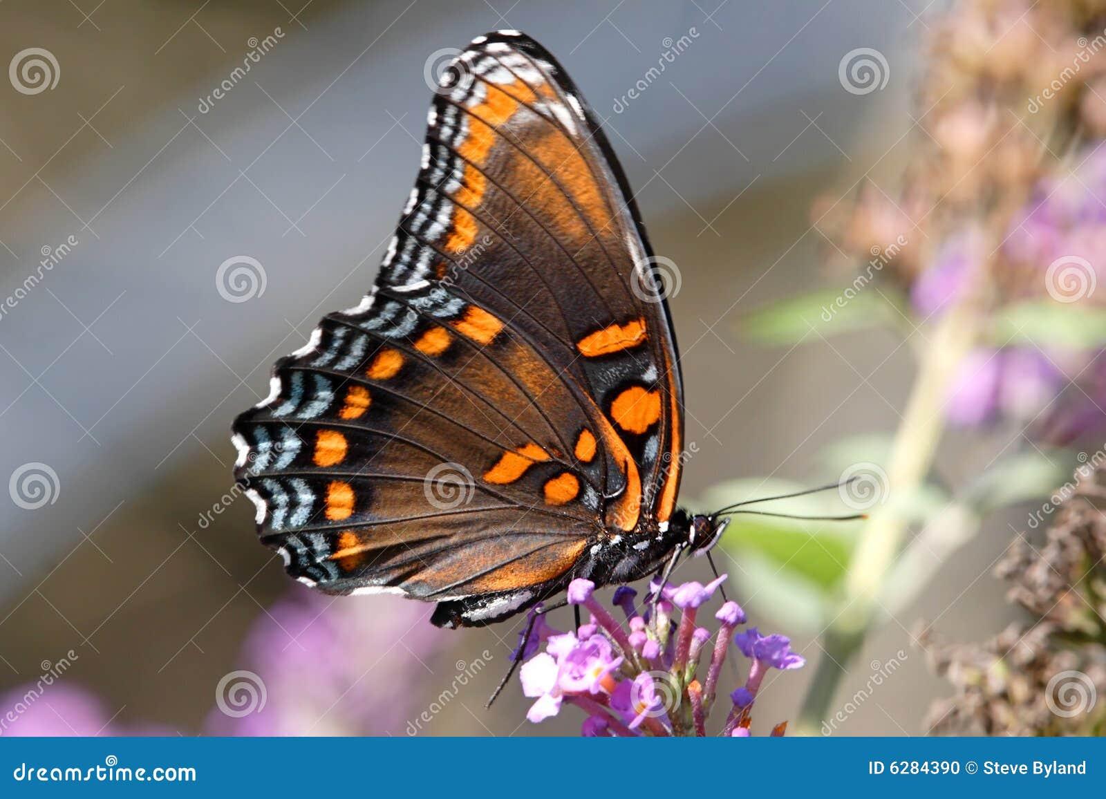 Mariposa púrpura Rojo-manchada