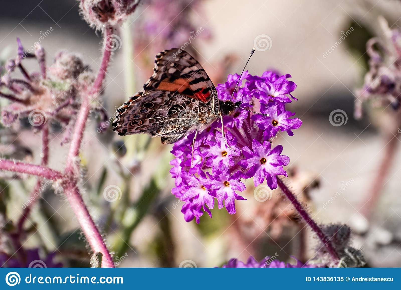 Mariposa pintada en un wildflower de Villosa del Abronia de la verbena de arena, parque de estado del desierto de Anza Borrego, s