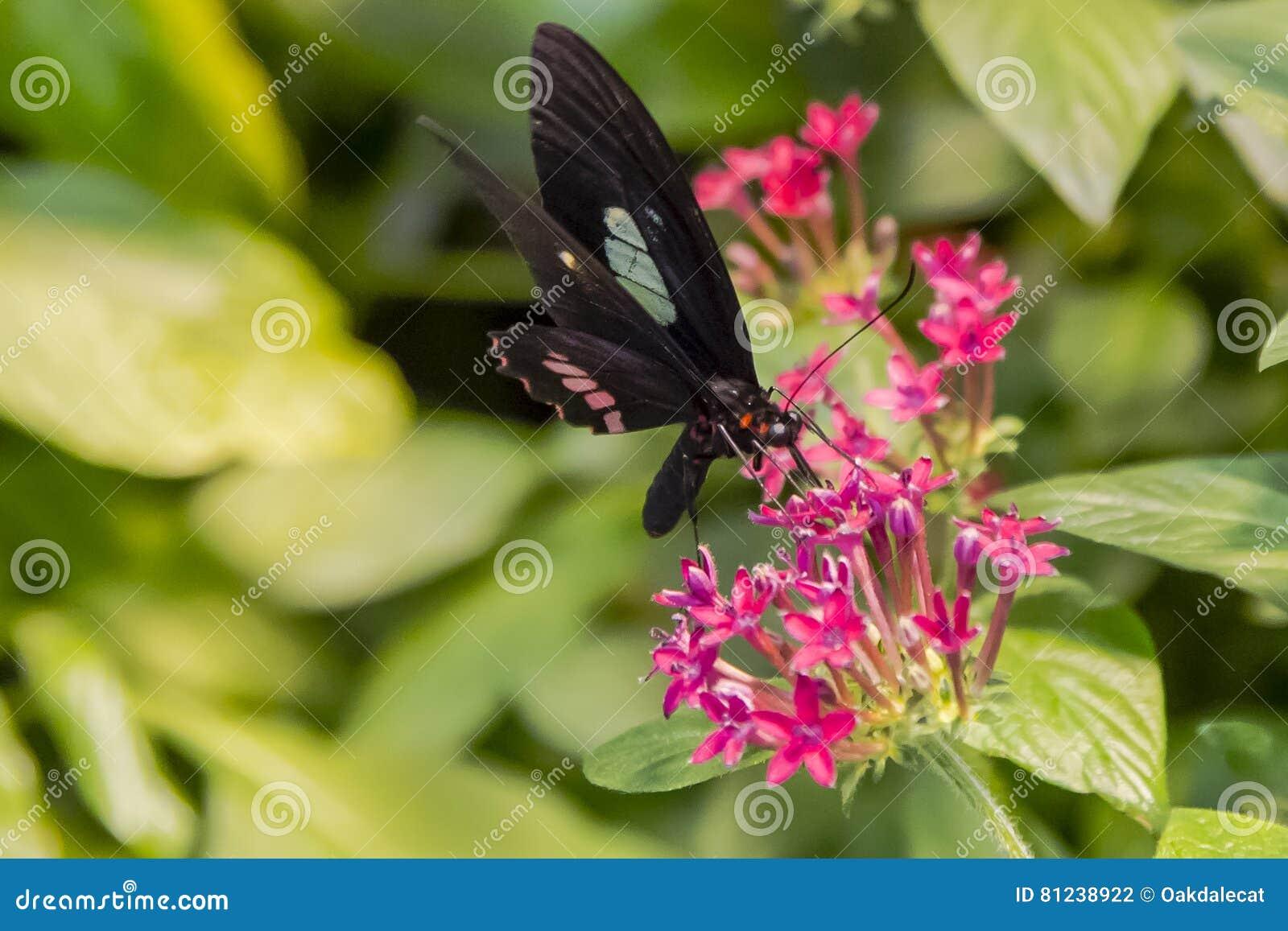 Mariposa que introduce en la flor