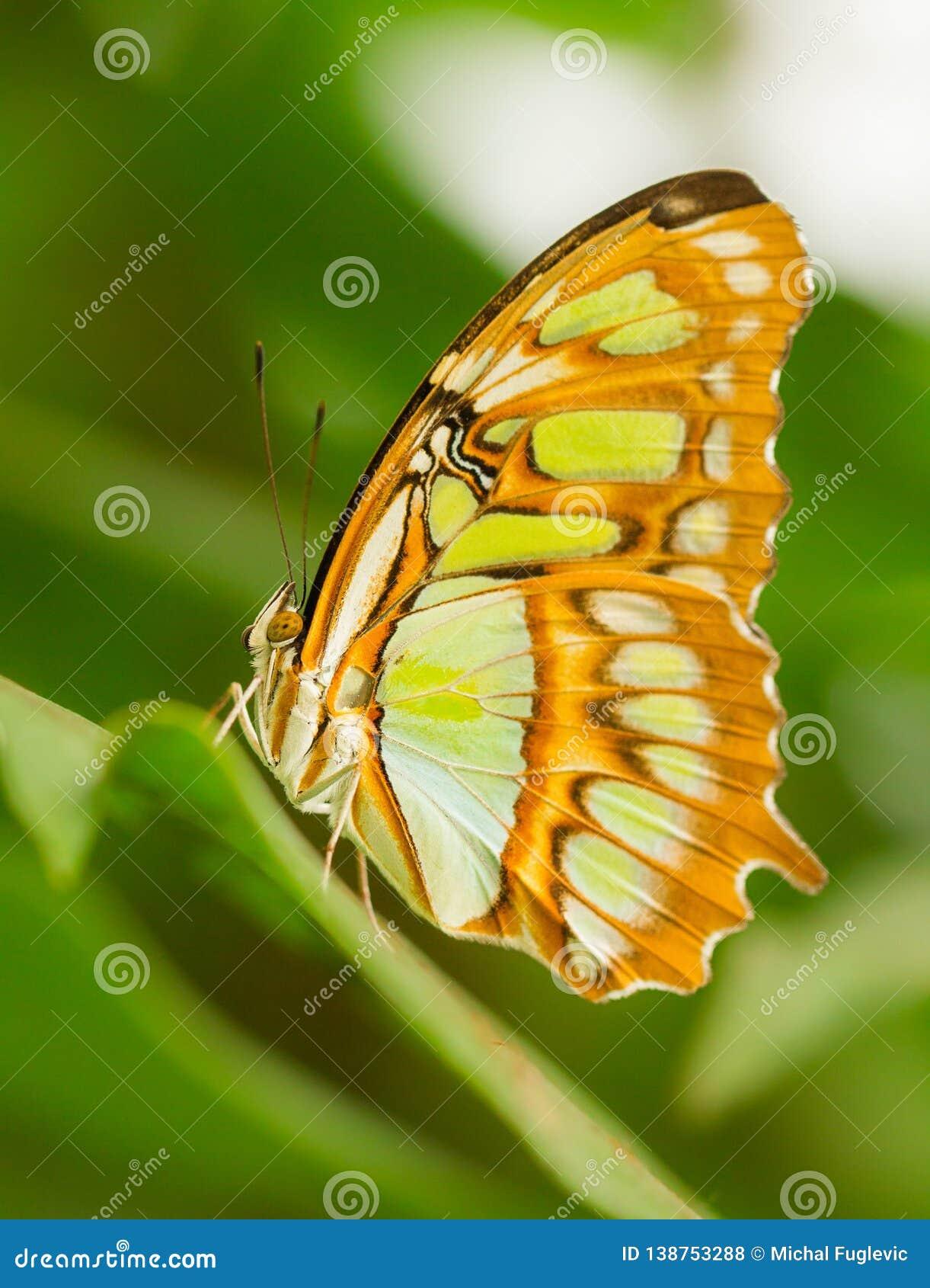 Mariposa tropical que se sienta en el invernadero, República Checa