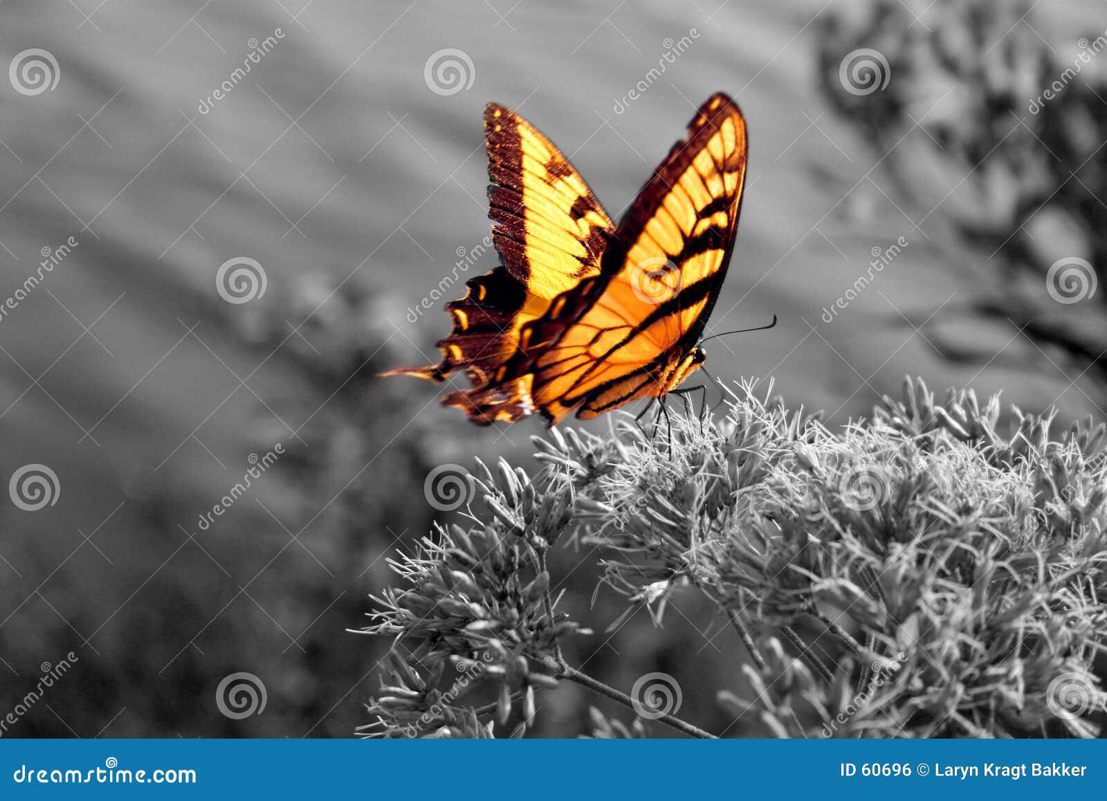 Mariposa vibrante en blanco y negro
