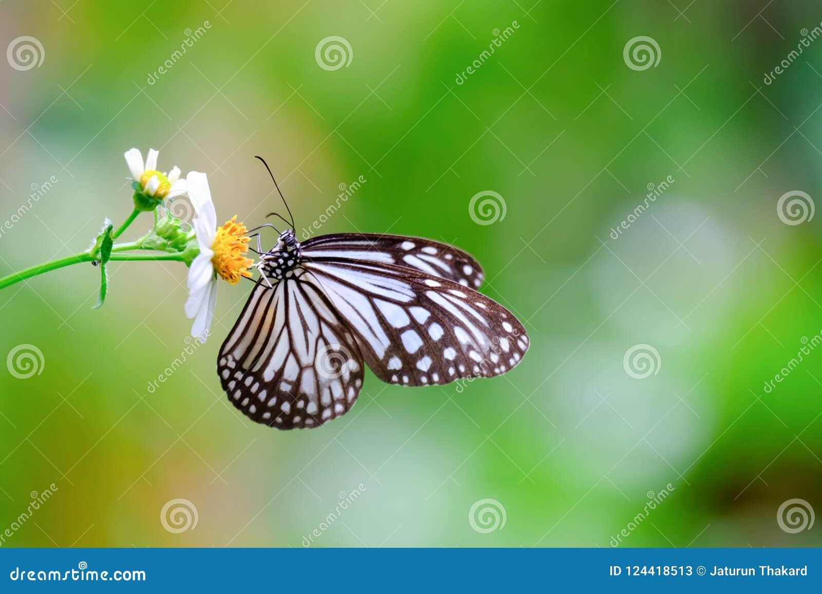 Mariposa vidriosa común del tigre del primer