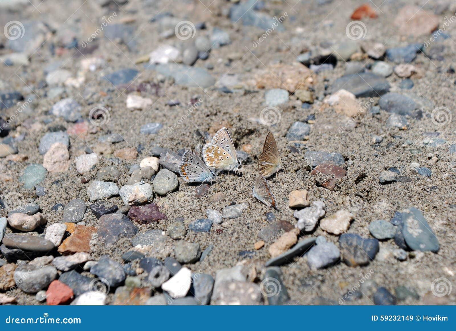 Mariposas de Foure en la arena y las piedras