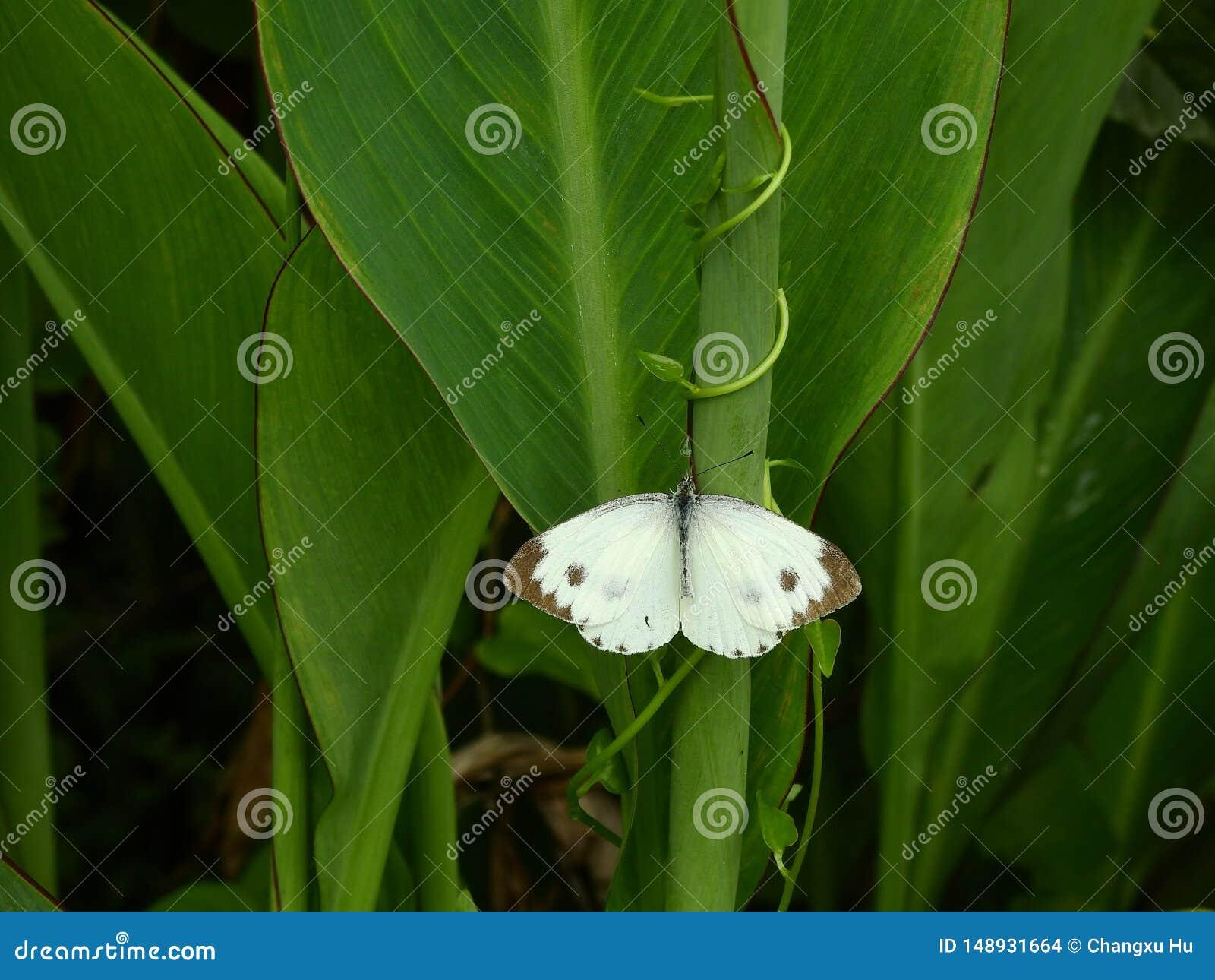 Mariposas en las hojas de Canna