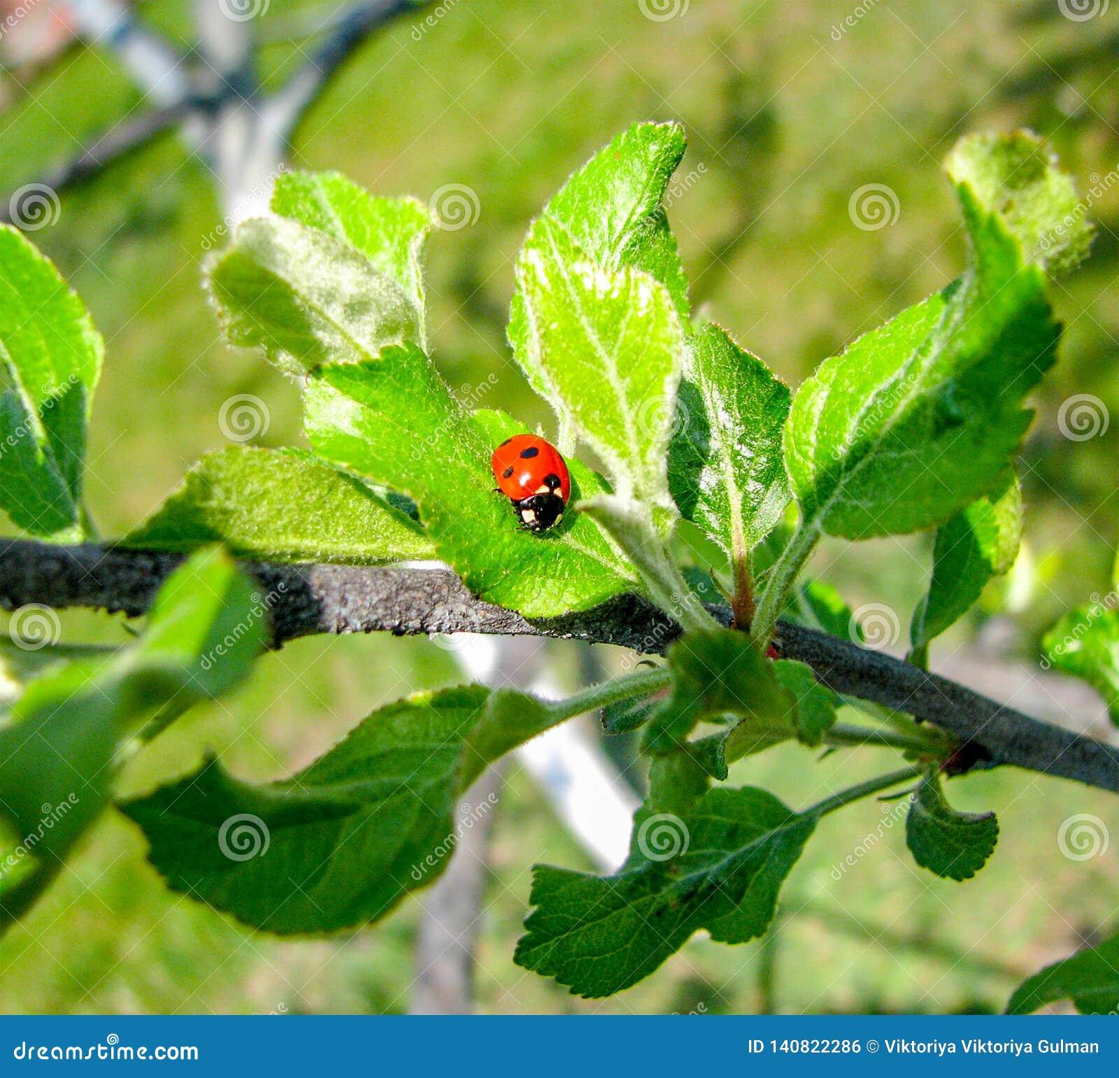 Mariquita ascendente cercana en la hoja verde en rama de árbol
