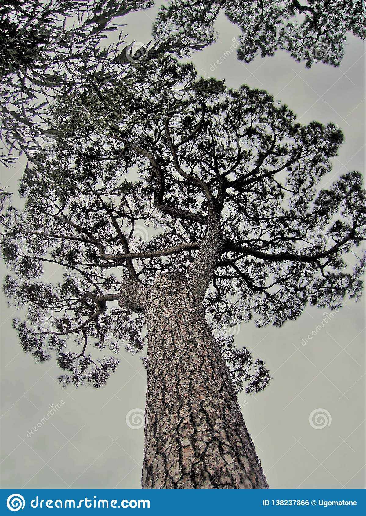 Maritime pine in Italy