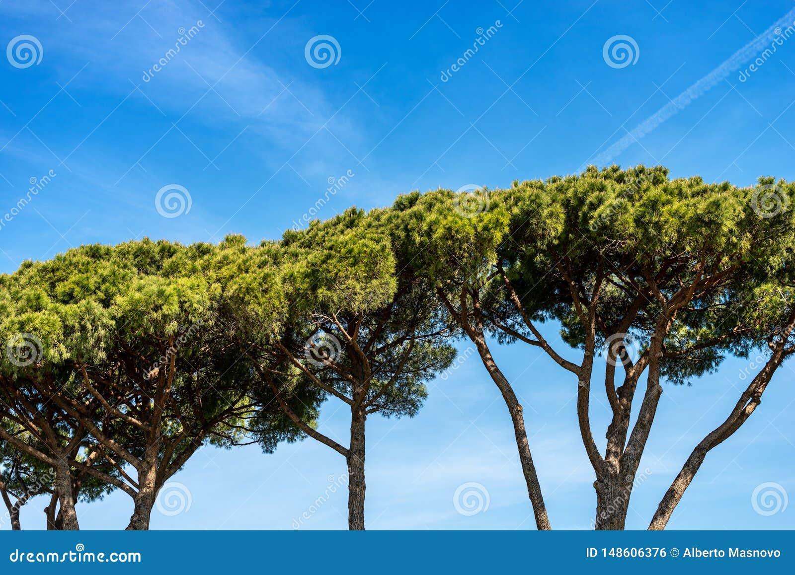 Maritimt sörja träd i medelhavs- region - Rome