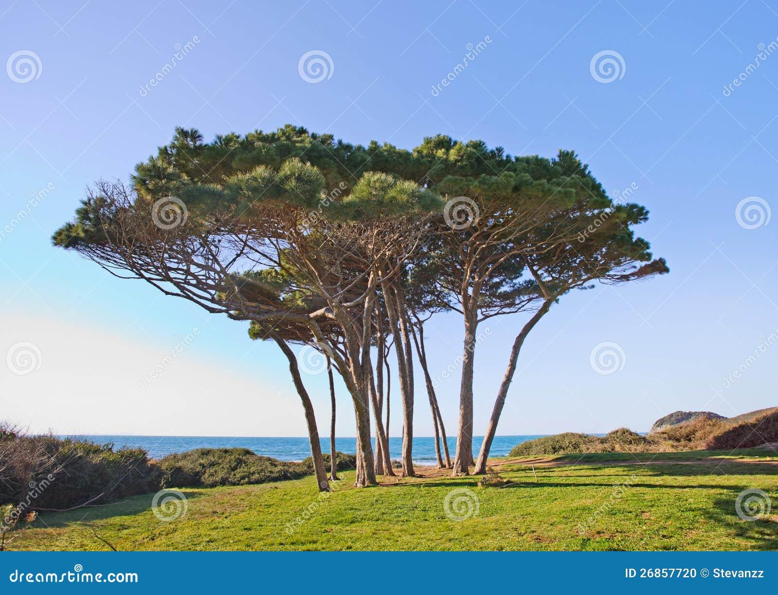 Maritimt sörja treegruppen. Baratti Tuscany.