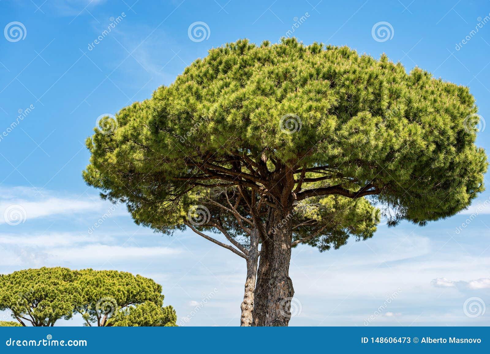 Maritimt s?rja tr?d i medelhavs- region - Rome