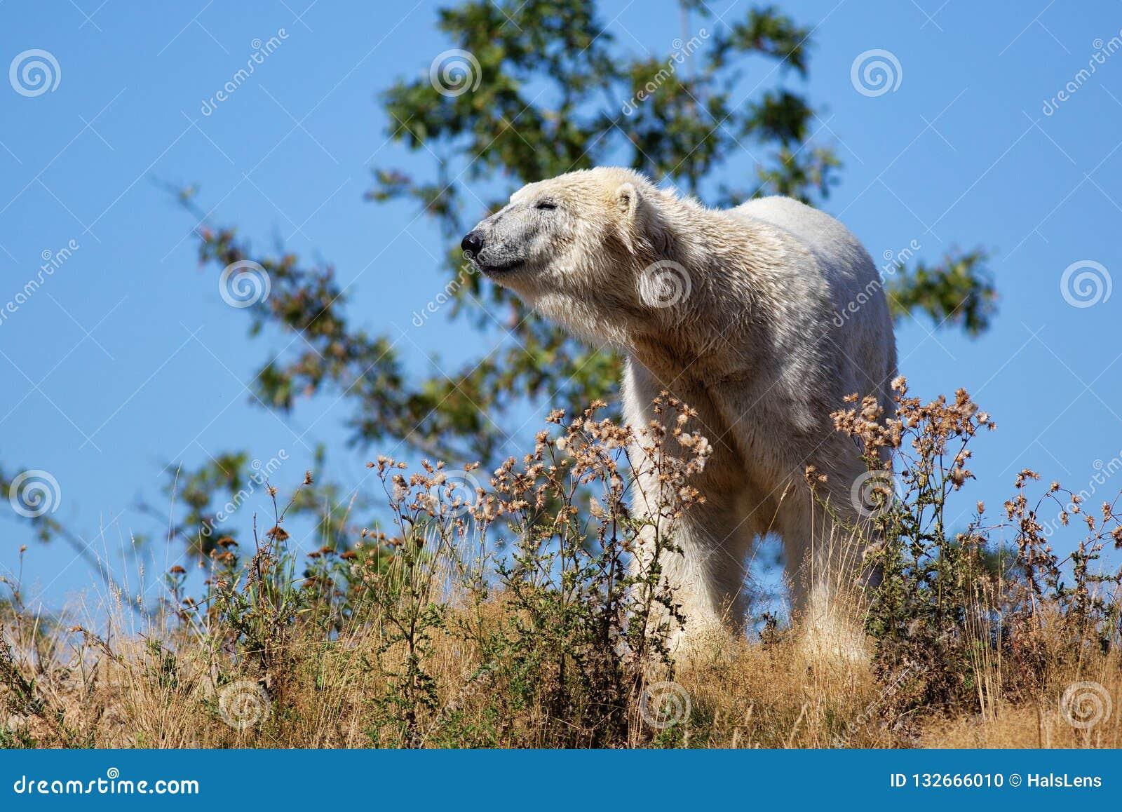 Maritimus del ursus del oso polar