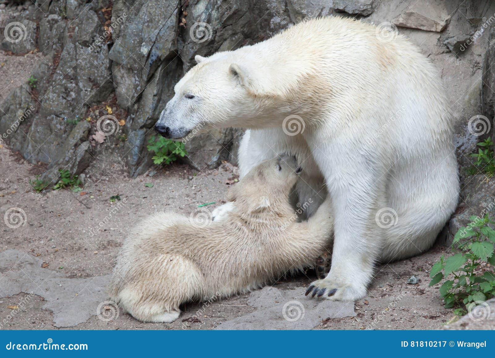 Maritimus ursus полярного медведя