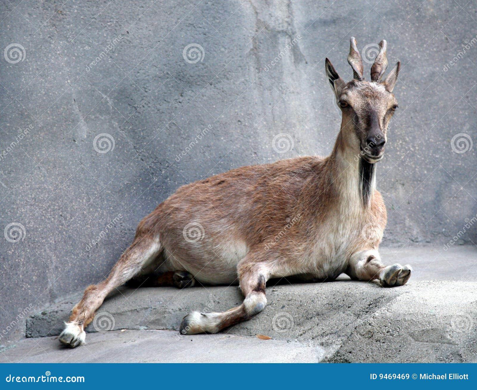Markhor Goat
