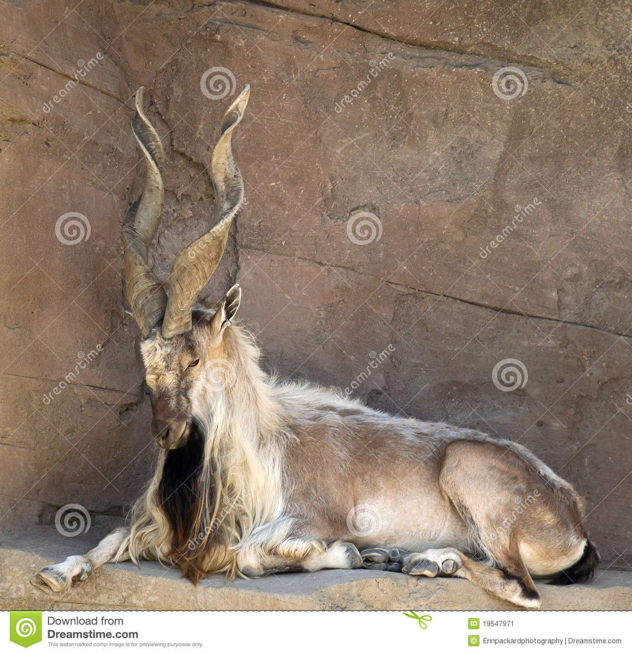 Markhor Goat with Twisted Horns