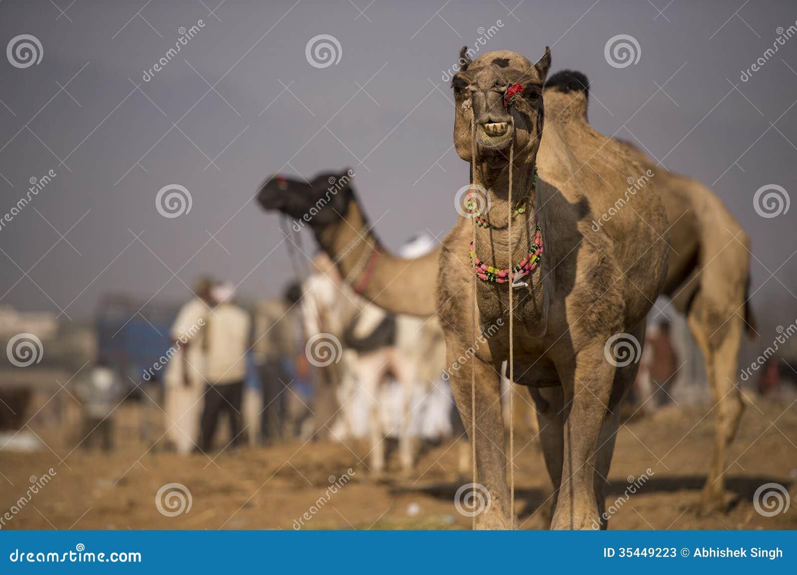 Markt van de Pushkar de Internationale Kameel