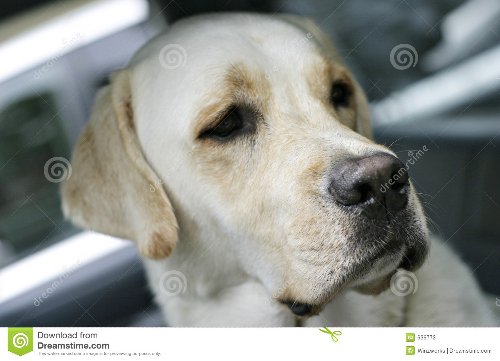 Download Marley labrador стоковое изображение. изображение насчитывающей собака - 636773