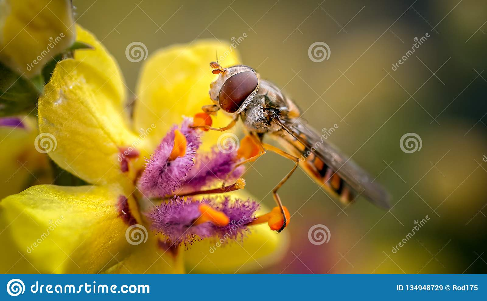Marmelad Hoverfly, Episyrphus balteatus på Verbascum
