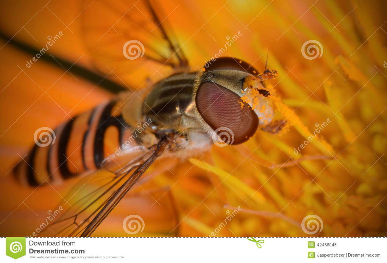 Marmelade hoverfly (Episyrphus balteatus)