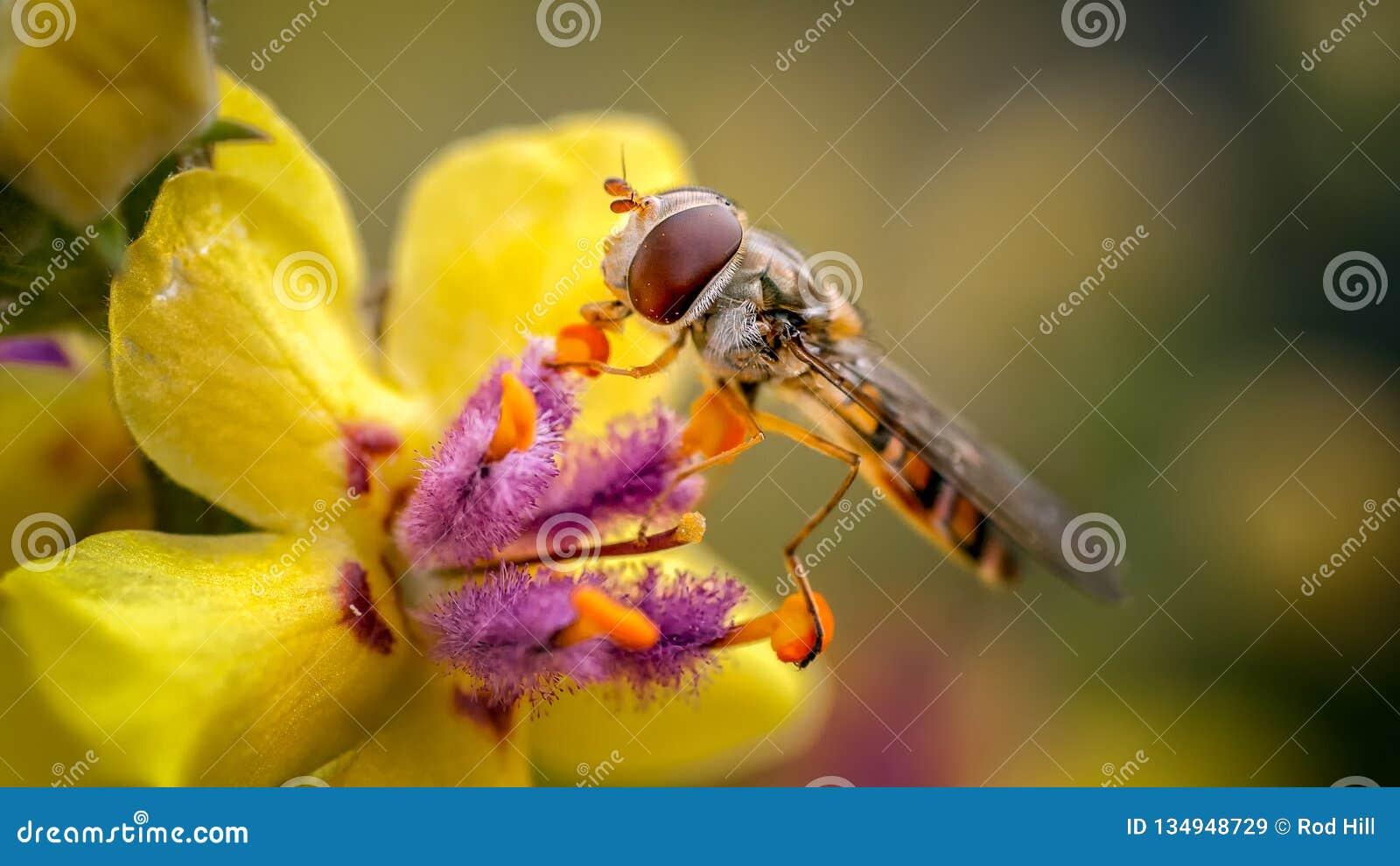 Marmelade Hoverfly, Episyrphus-balteatus op Verbascum