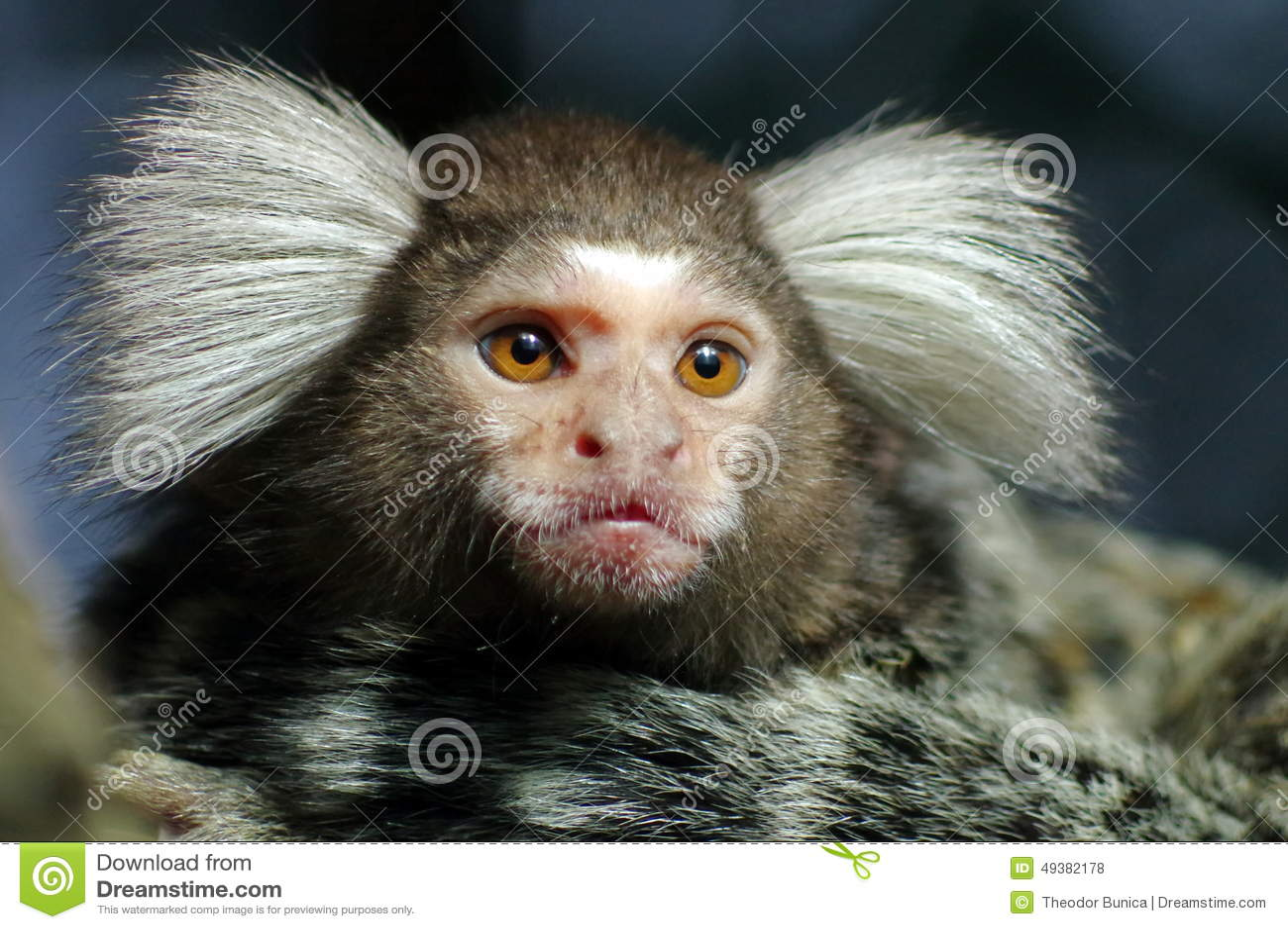 Portrait of Marmoset monkey