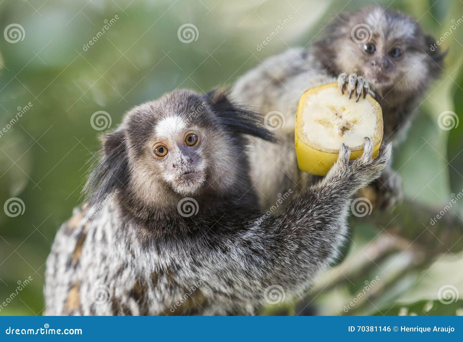 Marmoset Monkeys Stock Photo Image Of Looking Amazon 70381146