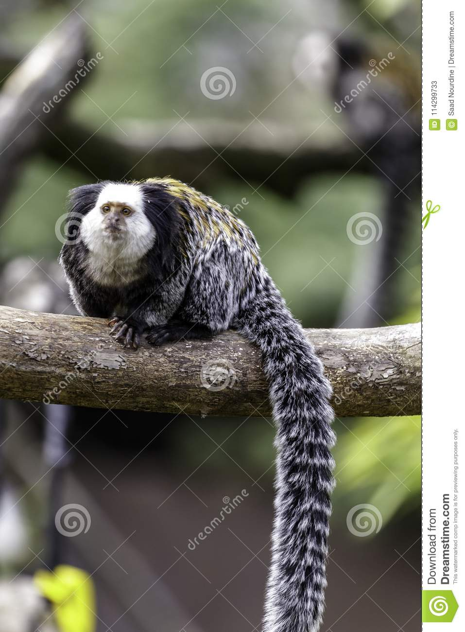 Marmoset White-headed