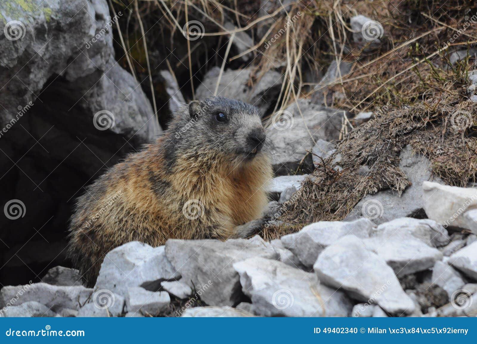 Download Marmot stockfoto. Bild von säugetiere, tiere, berge, marmot - 49402340