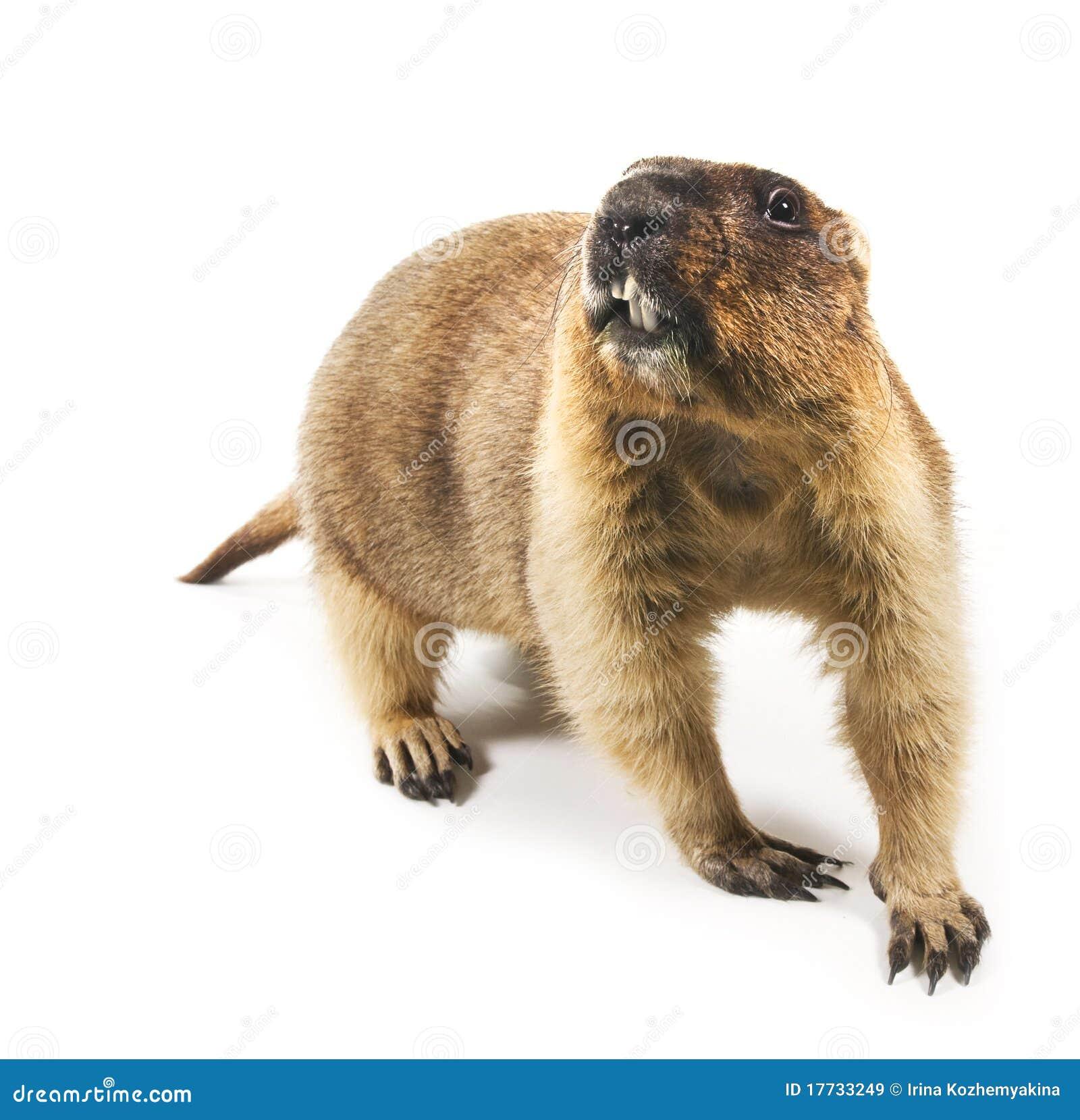 Marmot Marmota Steppe On A White Background Royalty Free