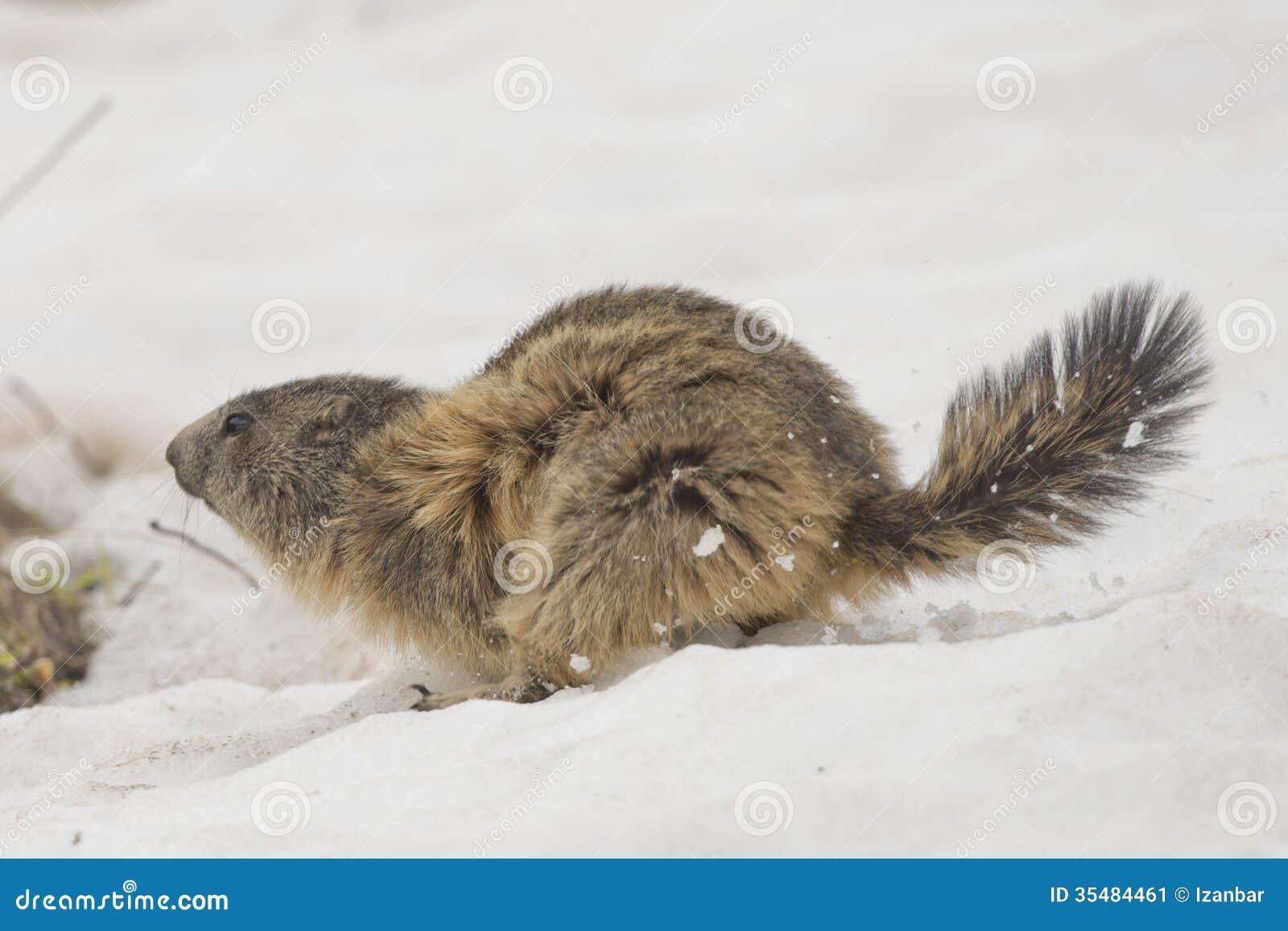 hoary marmot snow