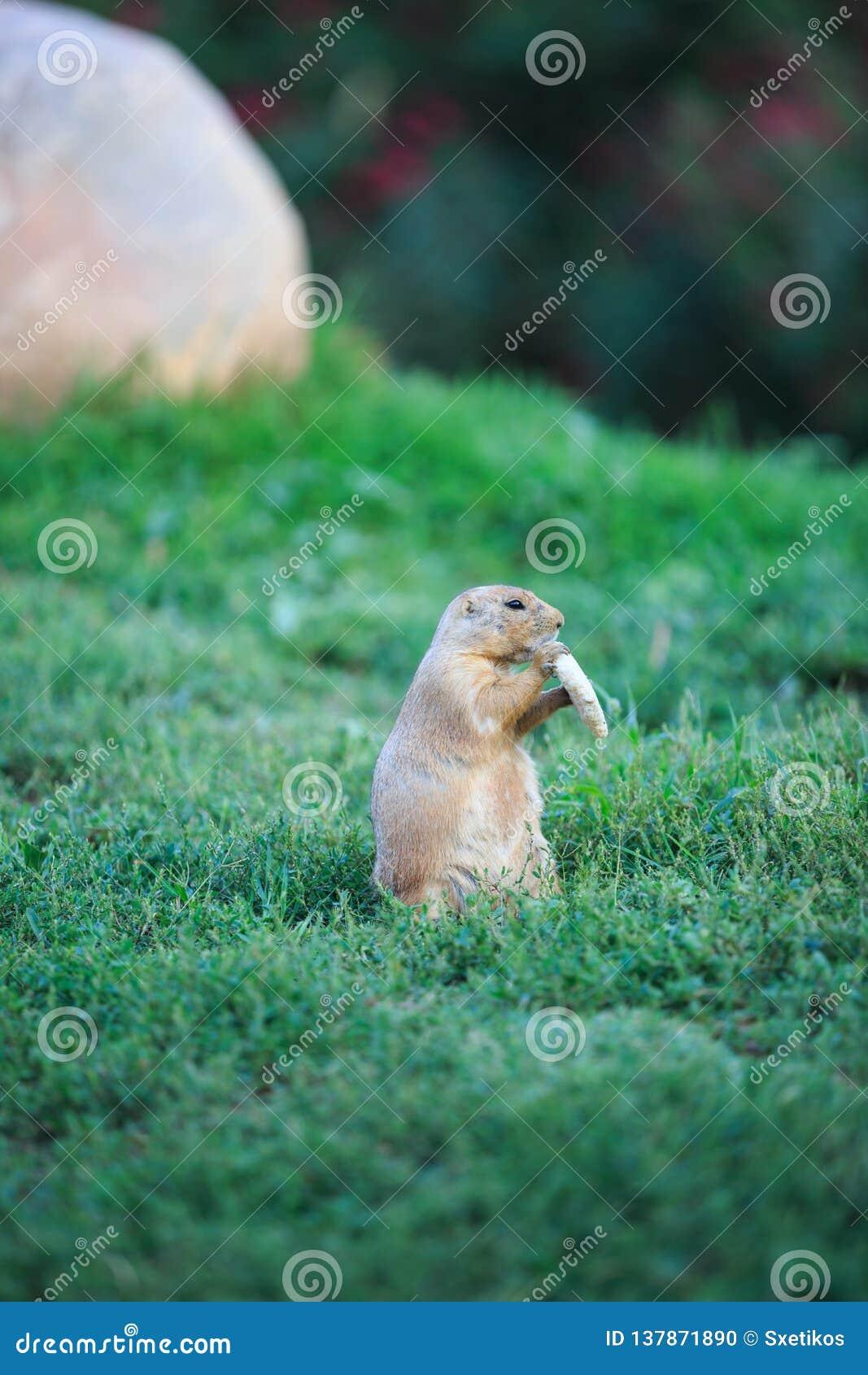 Marmota de pradaria atada preto