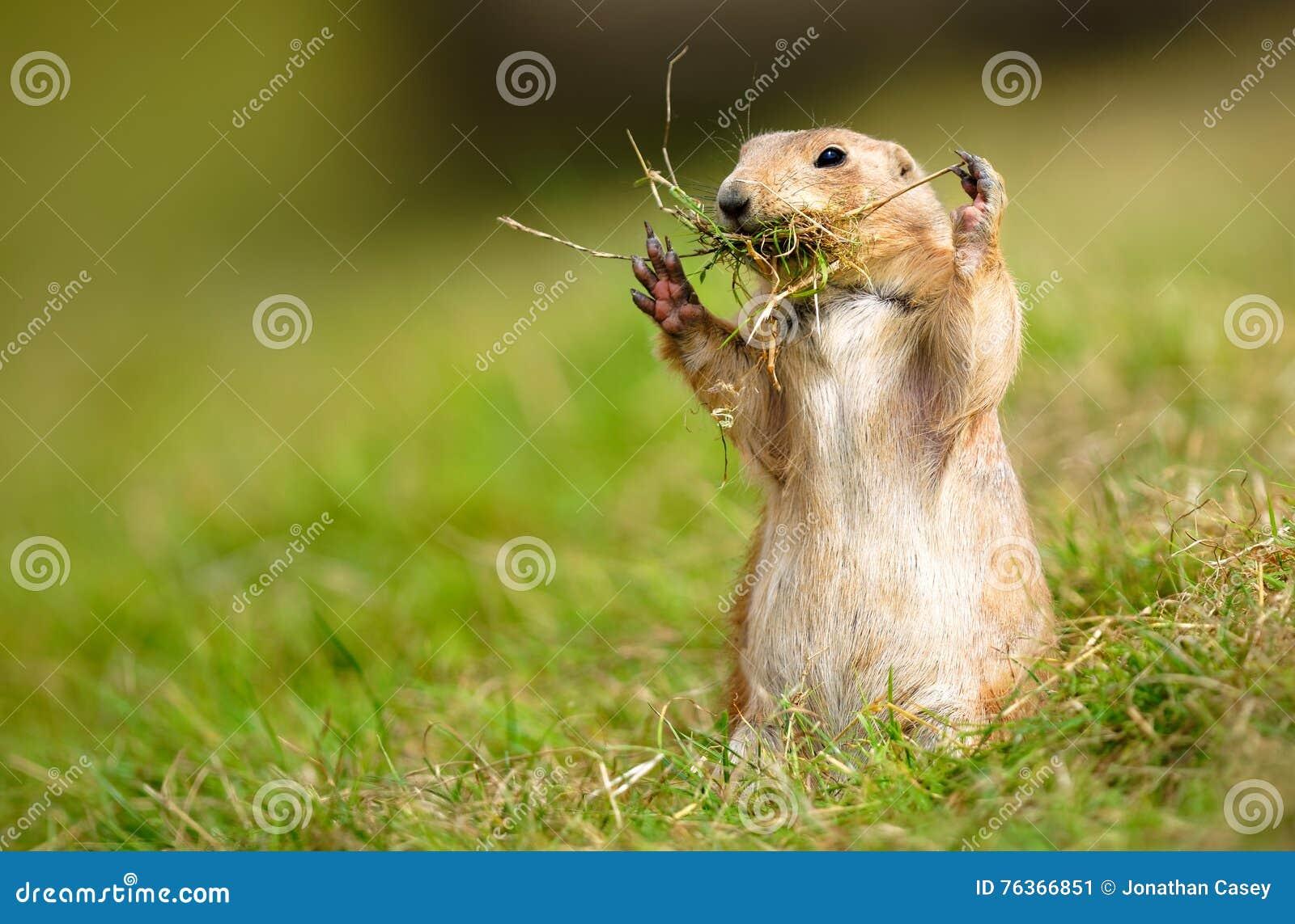 Marmota de pradera que recolecta las ramitas